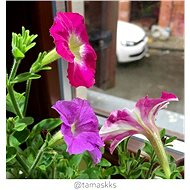 Click and Grow Petunie - Sazenice