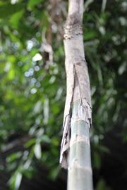 Ratan; rostlina