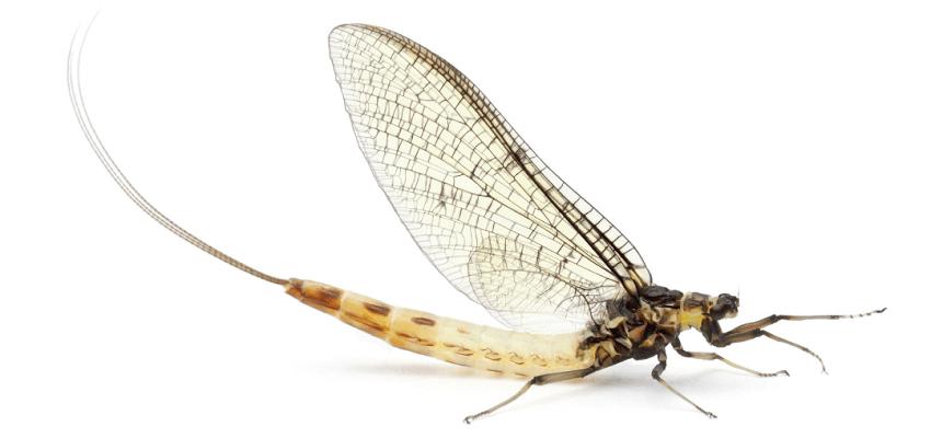 Jepice; hmyz