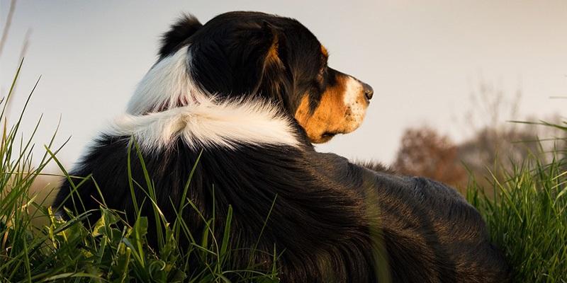 Pes ležící v trávě
