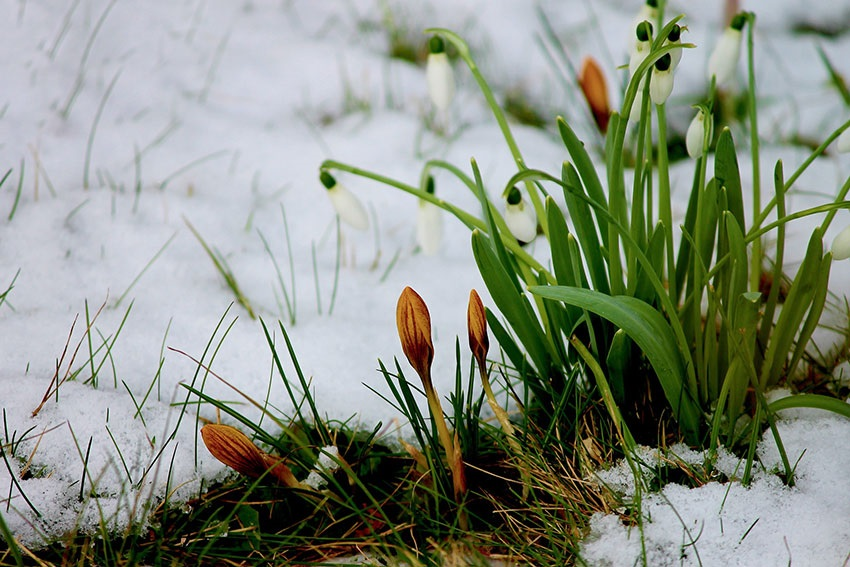 Sněženky na zahradě