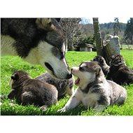 Mushing – jízda se psím spřežením - Tištěný voucher