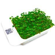 Microgreens by Leaf Learn rukola - Sazenice